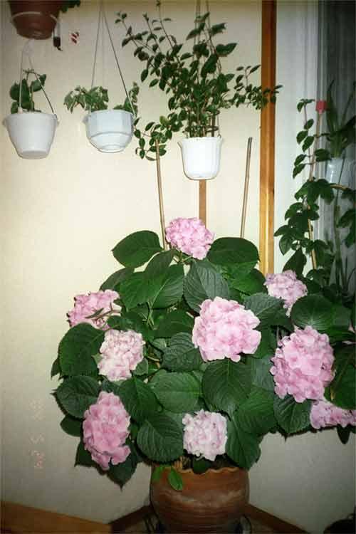 Выращивание гортензий в домашних условиях 16
