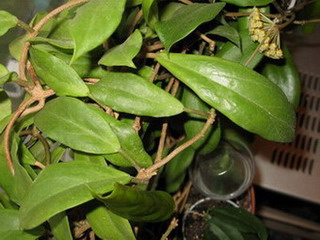 Hoya mindorensis  Все о комнатных растениях на flowersweb