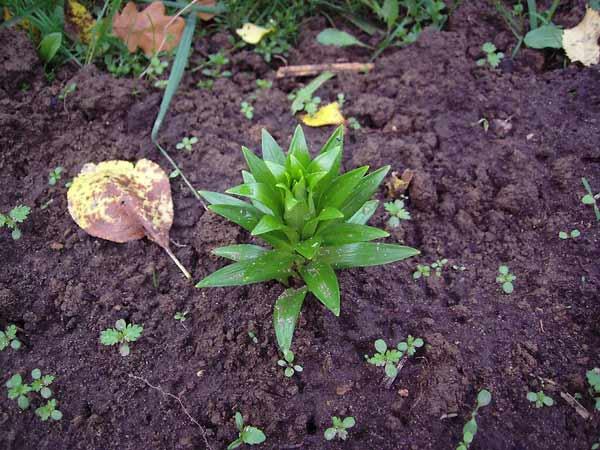 Когда сажать лилии осенью с ростками 904