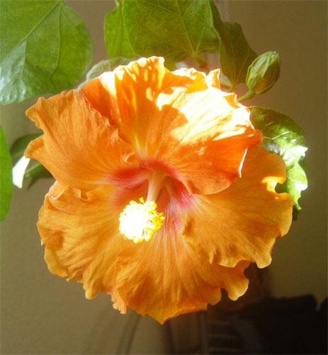Фиеста цветок