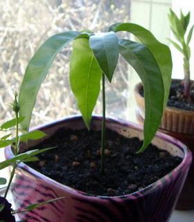 Если посадить косточку манго в домашних условиях 804
