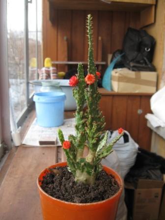 Здравствуйте, надеюсь, что не откажете в помощи) Подарили на день рождения вечноцветущий кактус, для меня ленивой) Но...