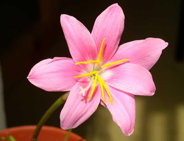 цветок с шестью лепестками раскраска