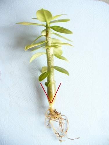 """Грунт мешаю используя покупной грунт  """"пальма """"+кокос+перлит+кирпичная крошка+уголь+мелкий керамзит, иногда вермикулит."""
