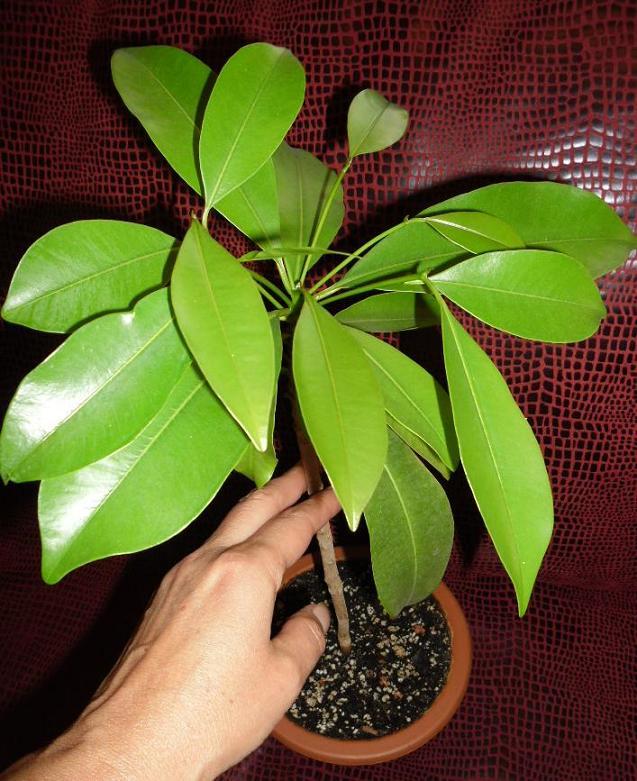 Вырастить мангостин в домашних условиях 138