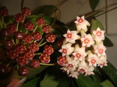 Редкие домашние цветы  купить растения