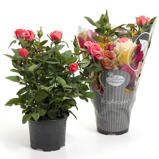цветы комнатная роза уход в домашних условиях фото