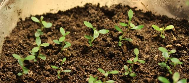 О выращивание азалии из семян 95