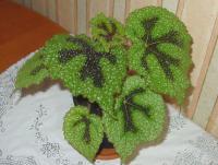 http://www.flowersweb.info/images/acquaintance/begonia-1.jpg