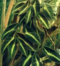 Begonia listada Jrmsch.