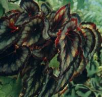 Begonia carthayana Hemsl.