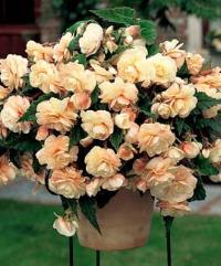 Begonia hybrid Champagne