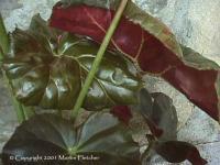 http://www.flowersweb.info/images/acquaintance/begonia-2.jpg