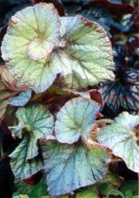 http://www.flowersweb.info/images/acquaintance/begonia-3.jpg