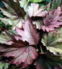 Begonia diadema Lind Kupferkonigin
