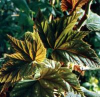 http://www.flowersweb.info/images/acquaintance/begonia-7.jpg