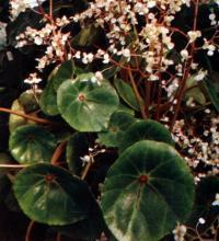 Begonia conchaifolia A. Dierr.