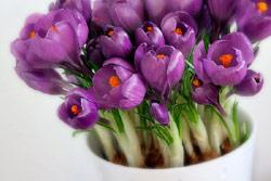 http://www.flowersweb.info/images/acquaintance/crocus-0.jpg