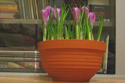 http://www.flowersweb.info/images/acquaintance/crocus-13.jpg