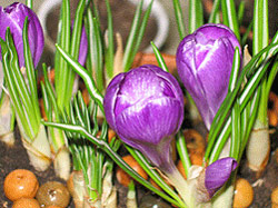 http://www.flowersweb.info/images/acquaintance/crocus-5.jpg