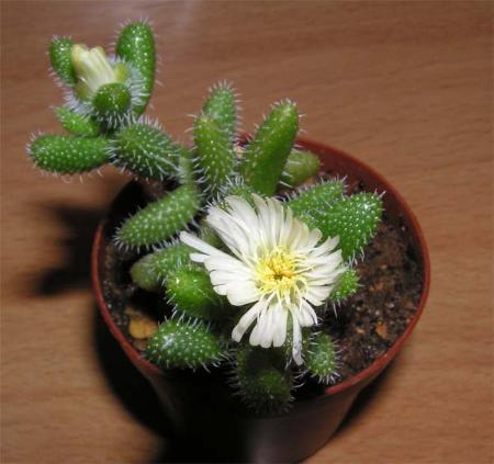волосатые растения: