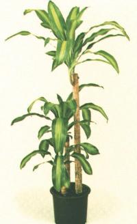Цветок драцена окаймленная маргината