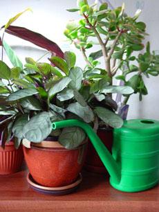 лучшее время для полива комнатных растений