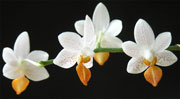 Увеличить: горячий душ для орхидей