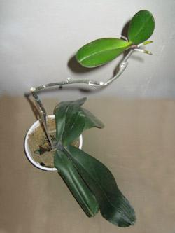 Дендробиум нобиле: уход в домашних условиях, фото орхидеи