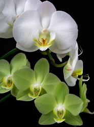 http://www.flowersweb.info/images/orchids/orhid.jpg