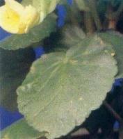 Тля aphididae