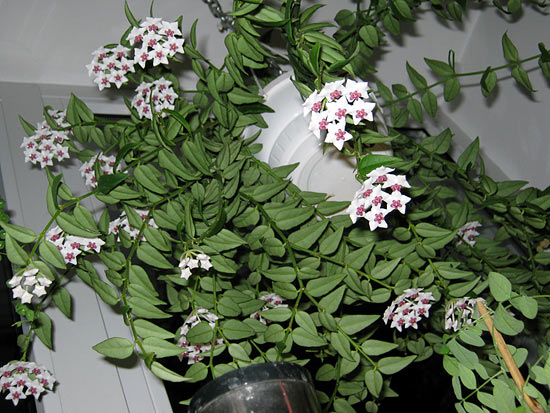 Хлоя цветок уход и 45