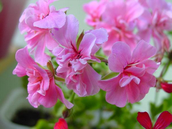 Цветок герань махровая фото
