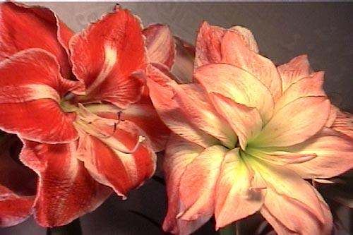 http://www.flowersweb.info/upload/iblock/2cb97c279e0d1c74e608d28c3beac587.jpg