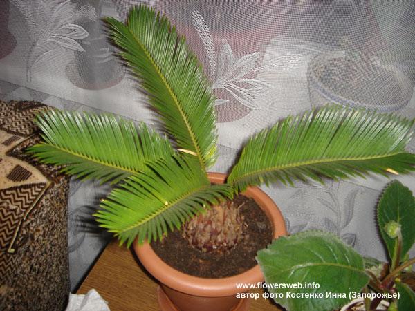 Комнатные пальмы: фото и название.
