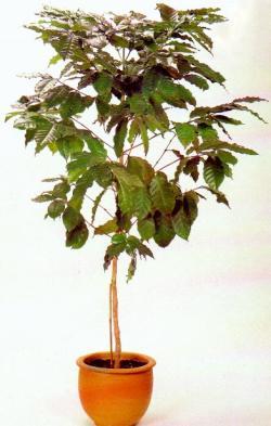 Кофейное дерево кофе