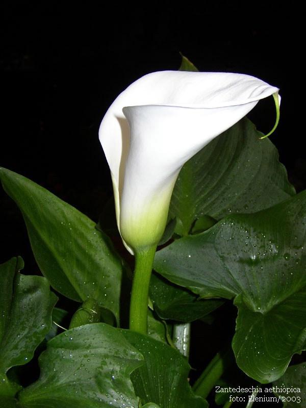 Фото цветка калла.