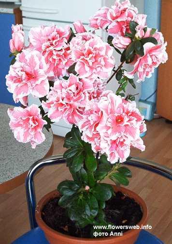 Русское название:Азалия (Рододендрон) Латинское название:Azalea (Rhododendron) Семейство:Вересковые - Ericaceae...