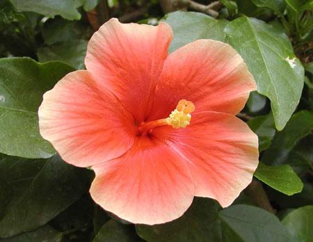 Род носит...  Русское название:Гибискус (китайская роза) Латинское название:Hibiscus Семейство:Мальвовые...