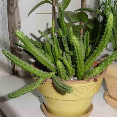 Фотографии кактусов и суккулентов  Фотогалерея цветов