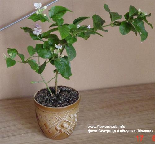 Жасмин домашний цветок уход фото размножение