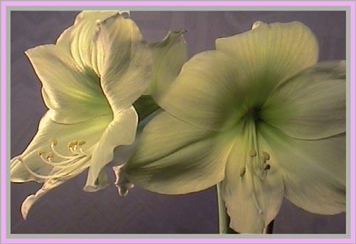 http://www.flowersweb.info/upload/iblock/cf8767dca170cacd0da088c7565f5496.jpg