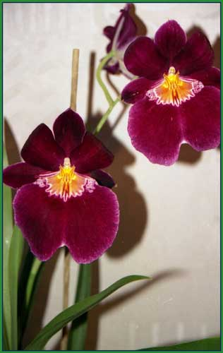 http://www.flowersweb.info/upload/iblock/f0d35b81e2fc05cabd168661e8b8f883.jpg