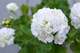pelargoniya_Kronprincess_Mary_1_05233848-750x499.jpg